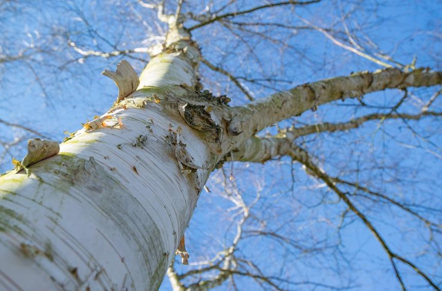 Voimapuu