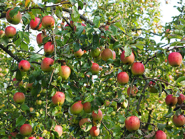 Omena -aromikas vitamiinipommi, Voimapuu